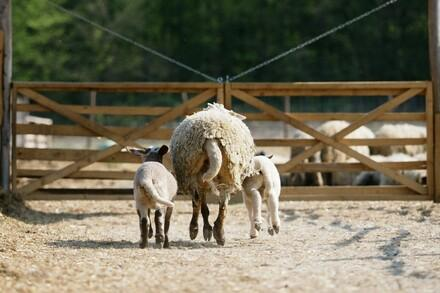 Lambs with mother sheep