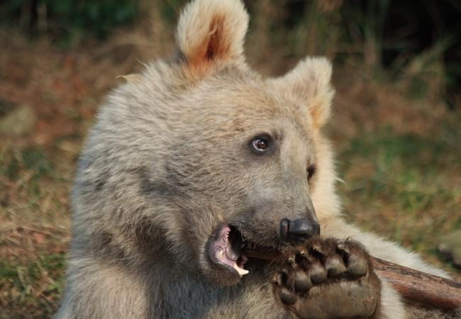 Junger Braunbär spielt mit Holzstück