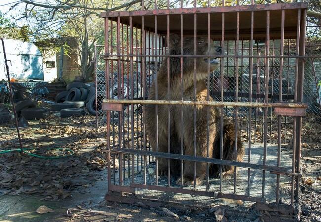 L'ours Napa en Serbie
