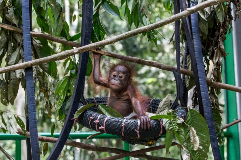 Orang-Utan-Baby Gonda im Wald