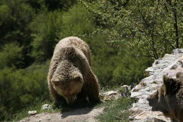 Bear at BEAR SANCTUARY Prishtina