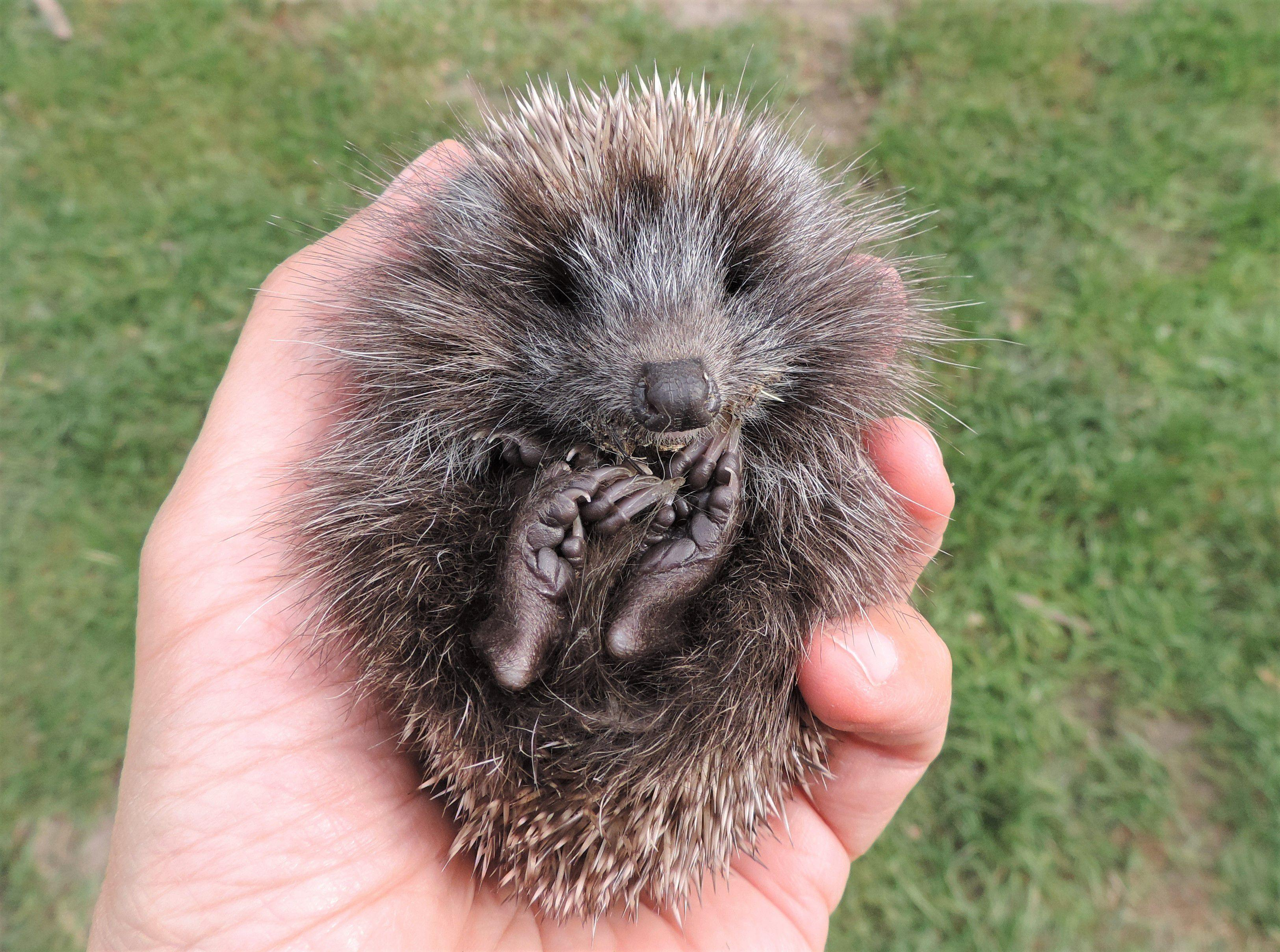 A young hedgehog found during the daytime needs help