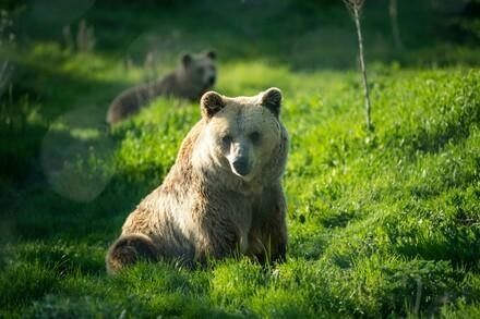 Brown Bear Hana sitting in the grass