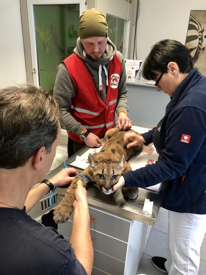 Pumawelpe Tikam bei der Behandlung (c) VIER PFOTEN