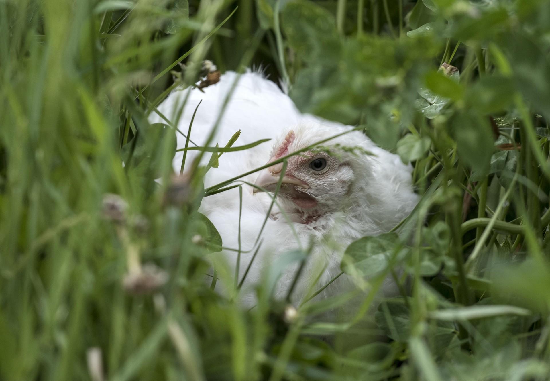 Henne liegt im Gras