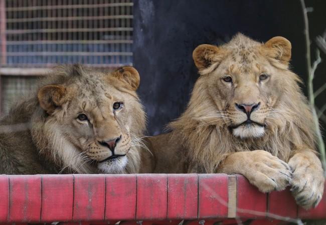 Leeuwen Masoud & Terez in hun hangmat