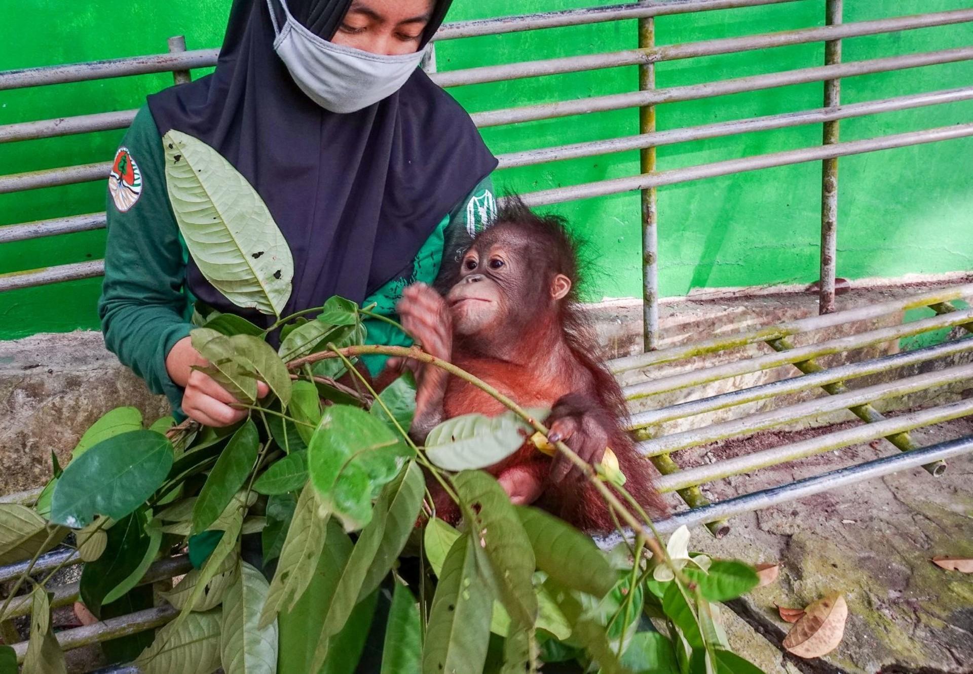Orphan Damai arrives at the ORANGUTAN FOREST SCHOOL