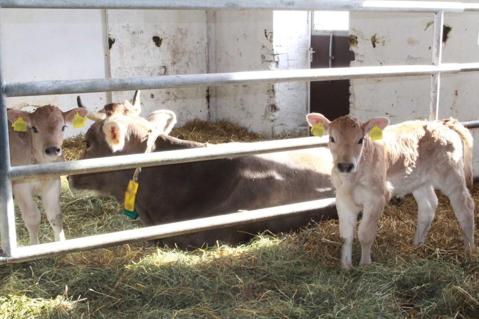 Kuh und Kälber im Stall bei muttergebundener Kälberaufzucht