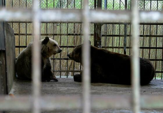 Boyka (L), a 7 years old female bear and Standy (R), a 7 years old male bear in their enclosure in Nikolovo Mini Zoo Lipnki in Ruse.