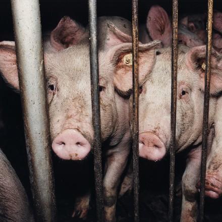 Deutschland, Niedersachsen   Pigs in stable   Copyright Notice: © FOUR PAWS   Fred Dott   © Status: All Rights