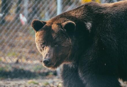 Bear Misha