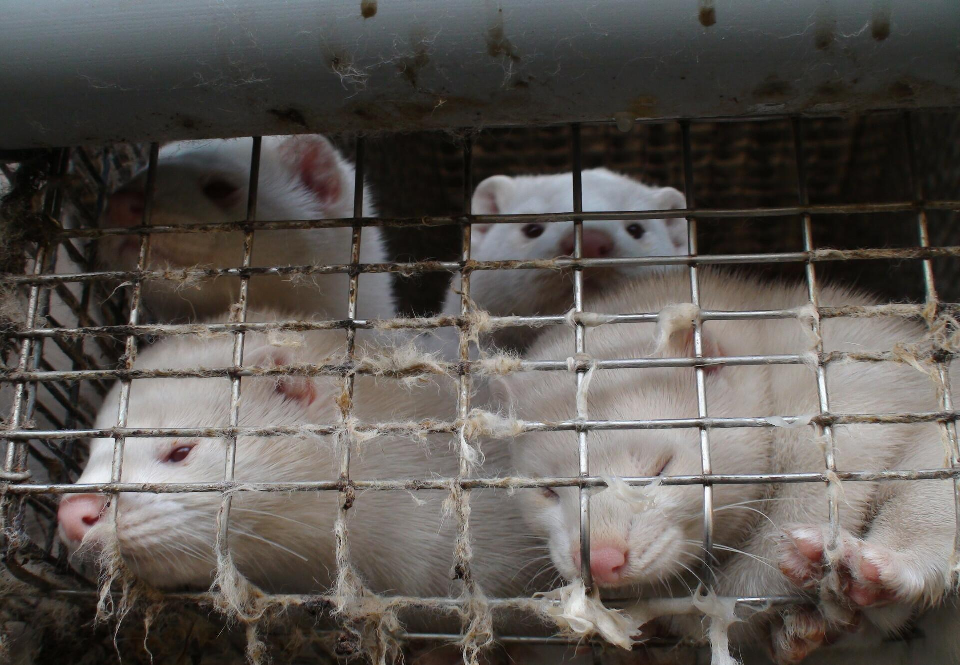 Mink in a small cage