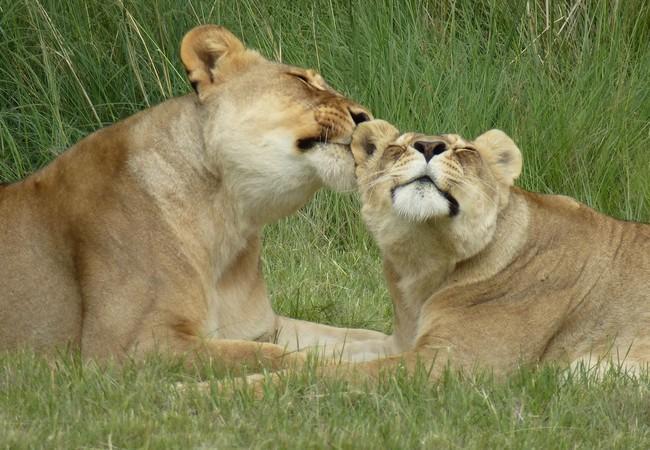 Leeuwinnen Carla & Frida in LIONSROCK