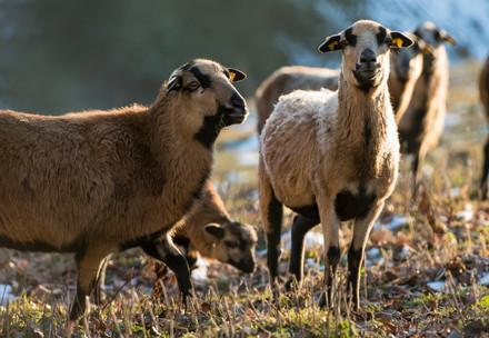 Schafe in TIERART