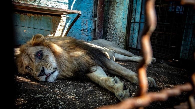 Löwe Lenci vor seiner Rettung