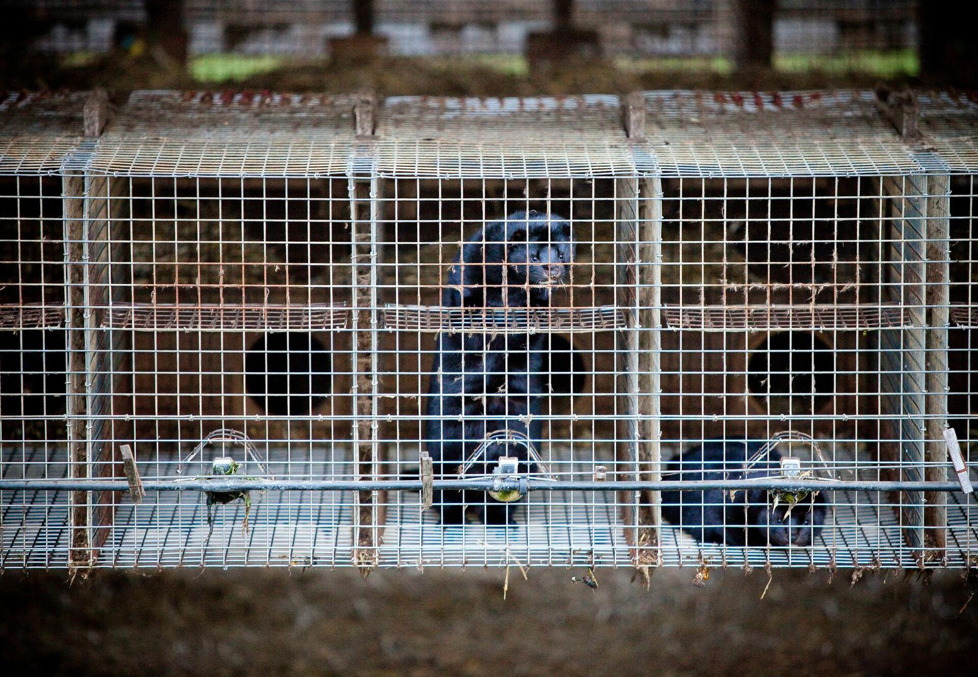 Minks at fur farm in Germany