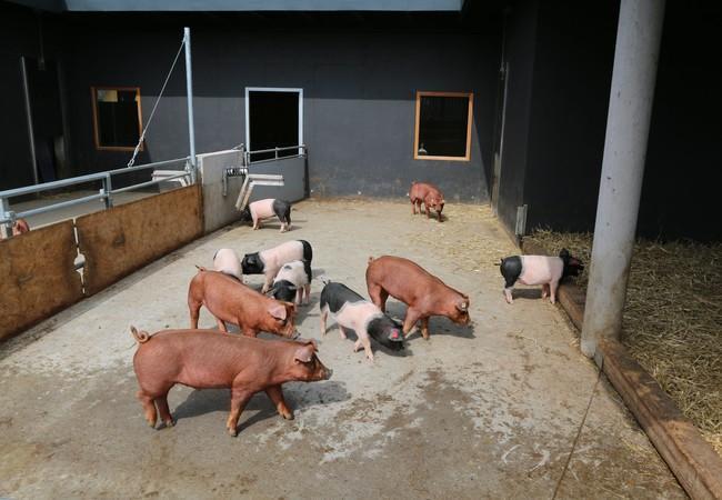 Zugang zu Frischluft und Sonnenlicht steigert das Wohlbefinden der Schweine