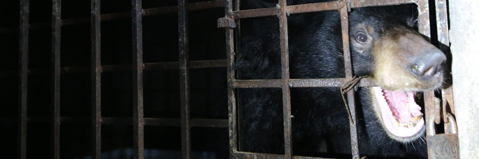 Bile bear Xuan in a cage