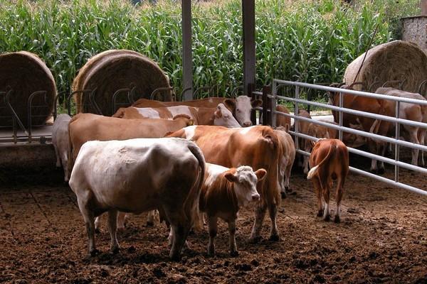 Gemeinsame Haltung von Kühen und Kälbern