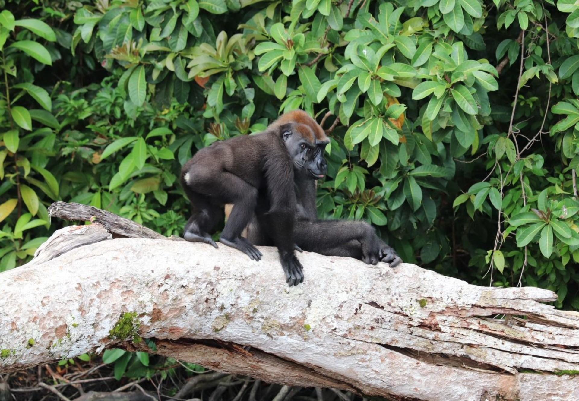 Two gorillas sitting on a fallen tree