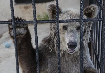 Bär im Käfig in Albanien, hinter Gittern
