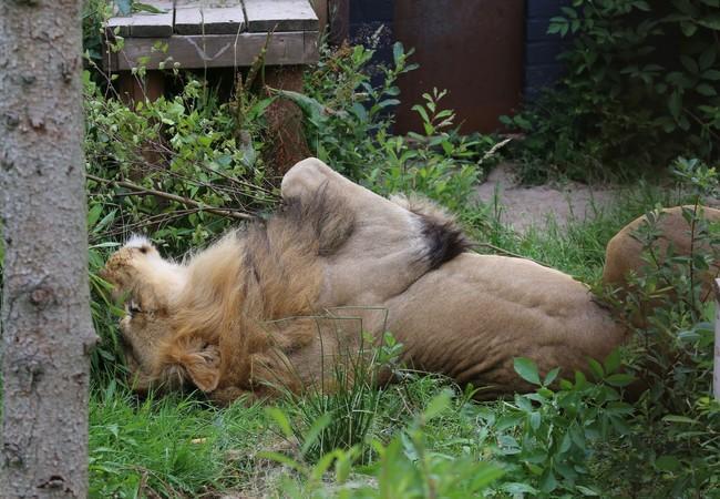 Lion Lenci rolling