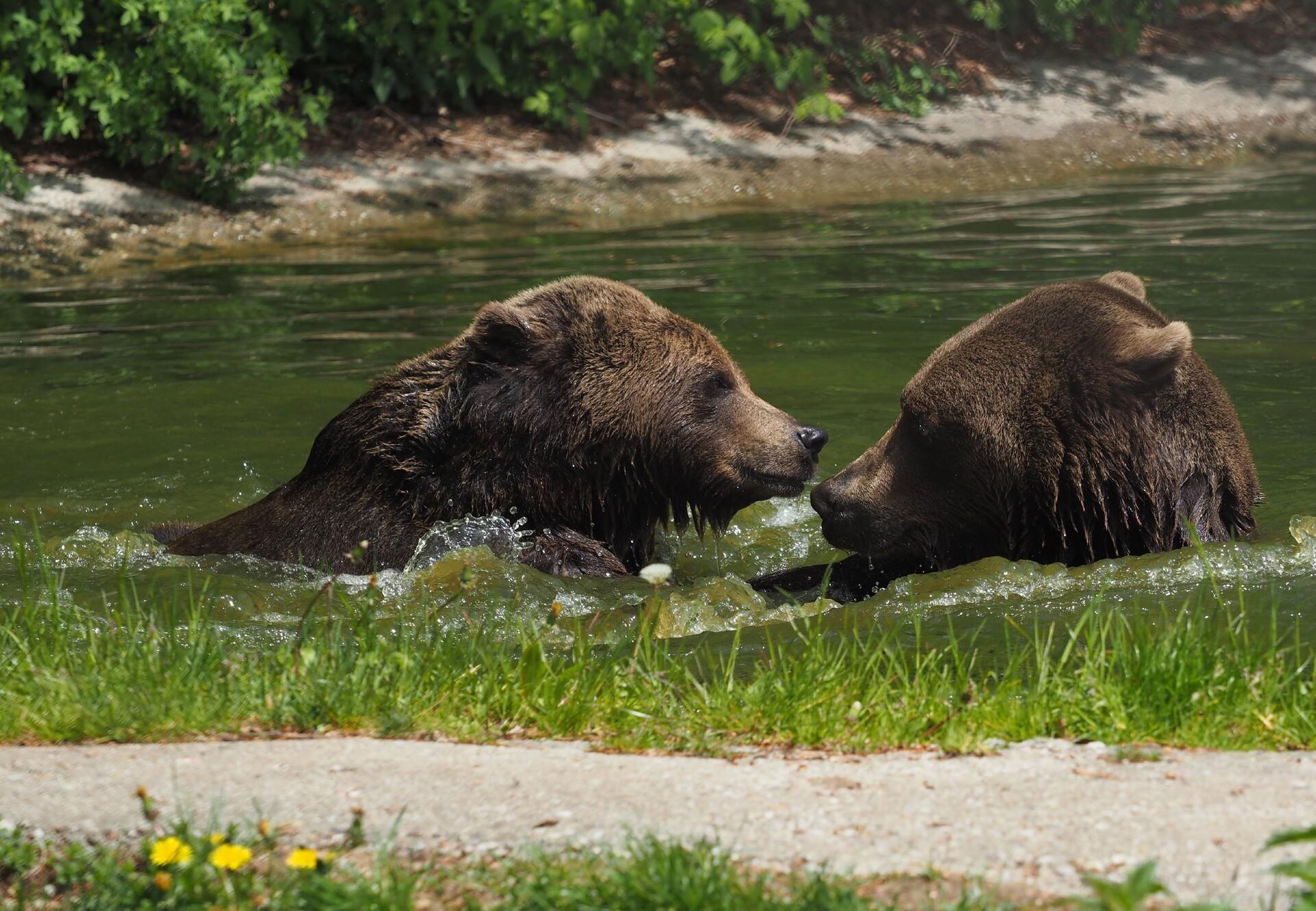 Gemeinsam im Wasser abhängen - das können Bär Erich und Emma im BÄRENWALD Arbesbach.