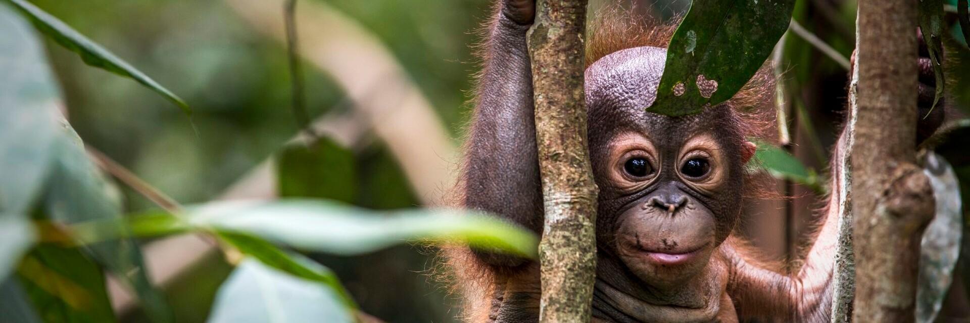 L'ECOLE DE LA FORÊT pour orangs-outans