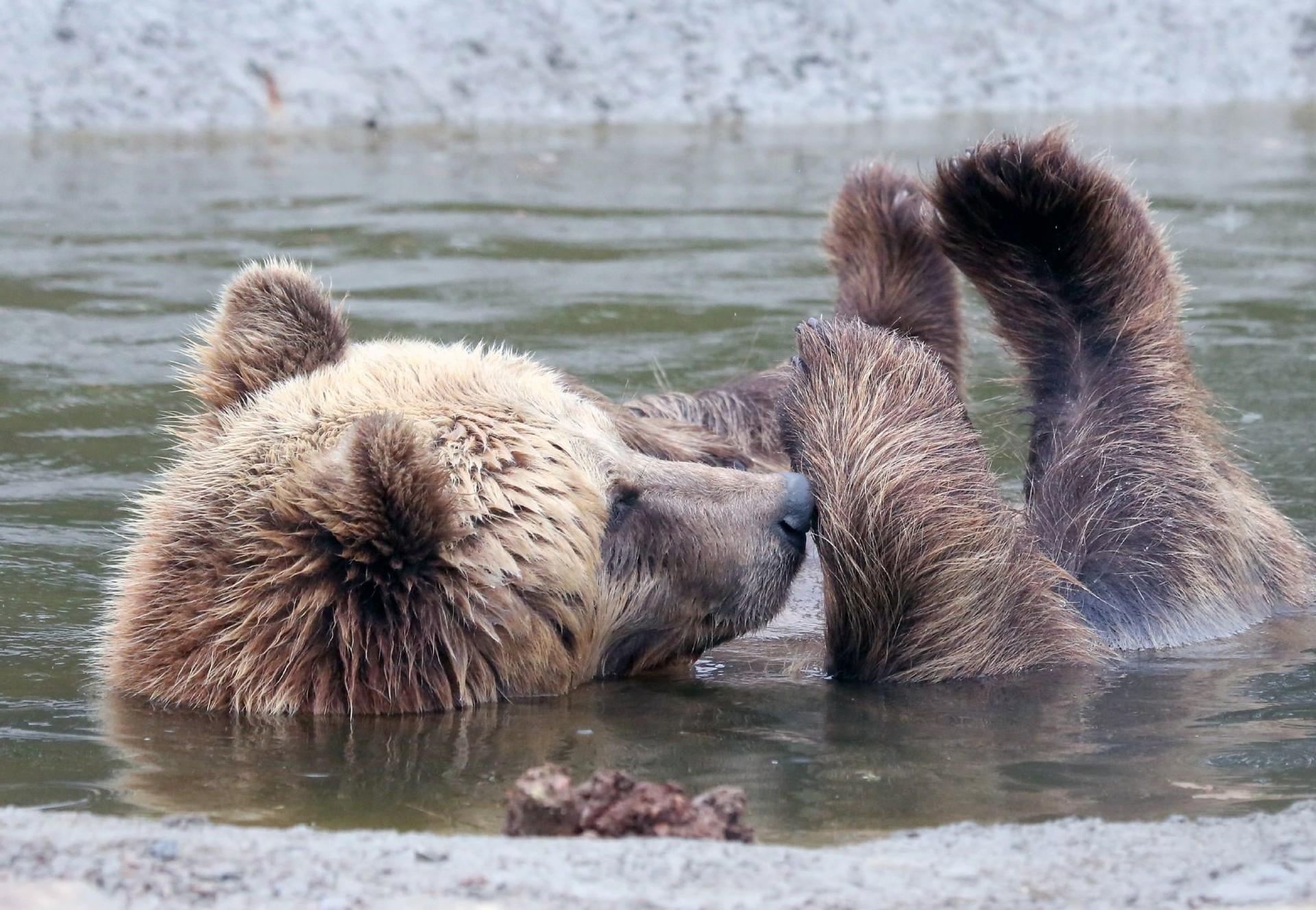 Un ours se baigne au refuge de Domazhyr