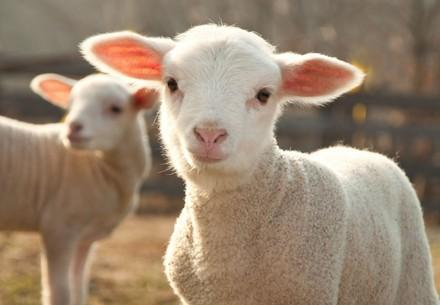 Lamb in the wool industry