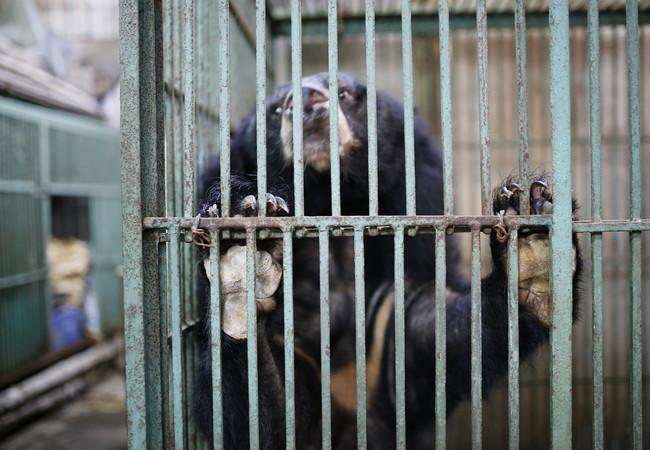 Bär Hoa Lan in seinem kleinen Käfig vor der Rettung