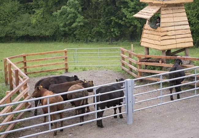 Eine Gruppe von Tieren aus der grossen Herde werden in eine ihnen bekannte Koppel verbracht.