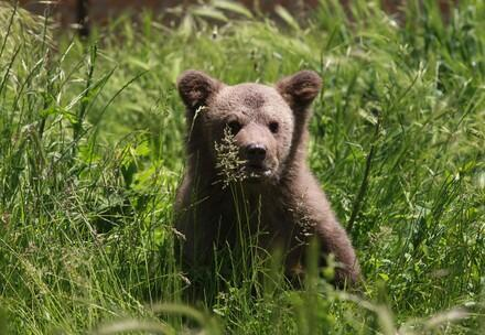 Brown bear cub Andre in the grass