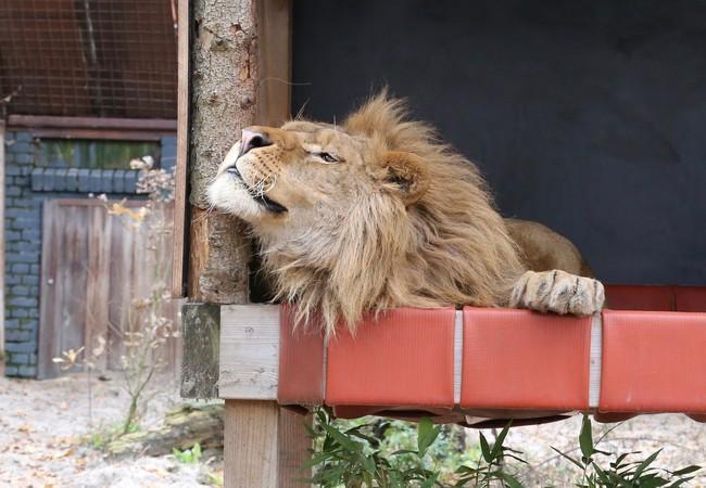 Löwe Ivan-Ansen in FELIDA