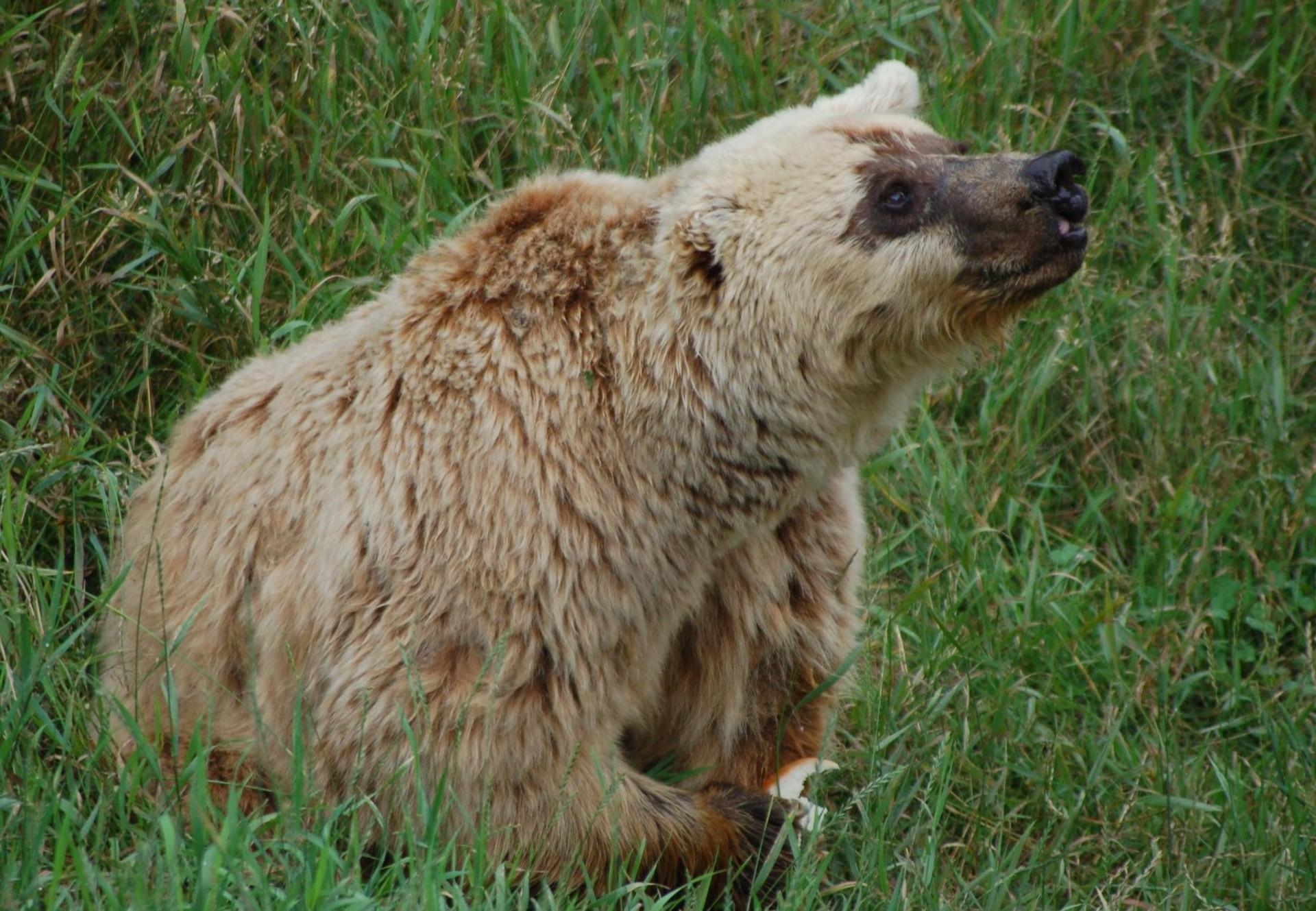 Brown bear Lady M.