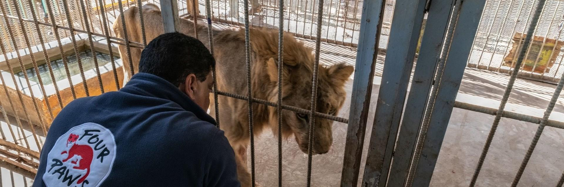 Löwe im Käfig wird begutachtet