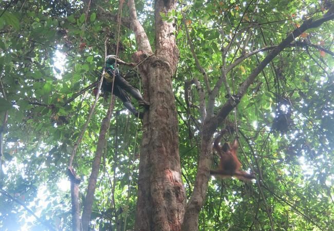 Höhenangst ist kein Problem. Spagat auch nicht für Orang-Utan Gerhana!