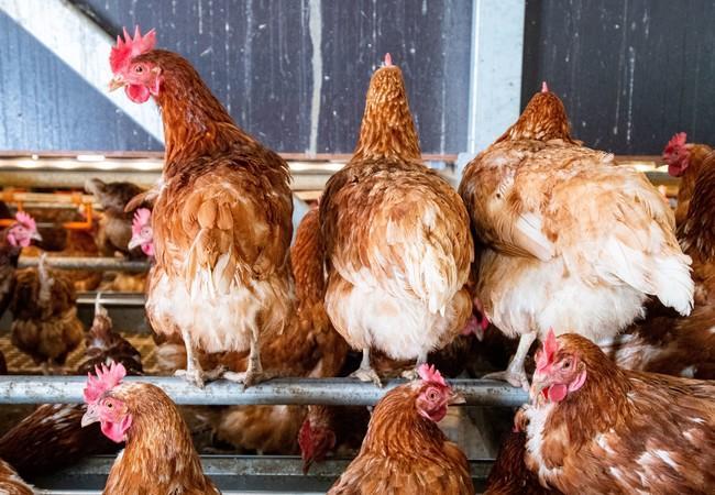 Auf den Sitzstangen gibt es genügend Platz für alle Hennen