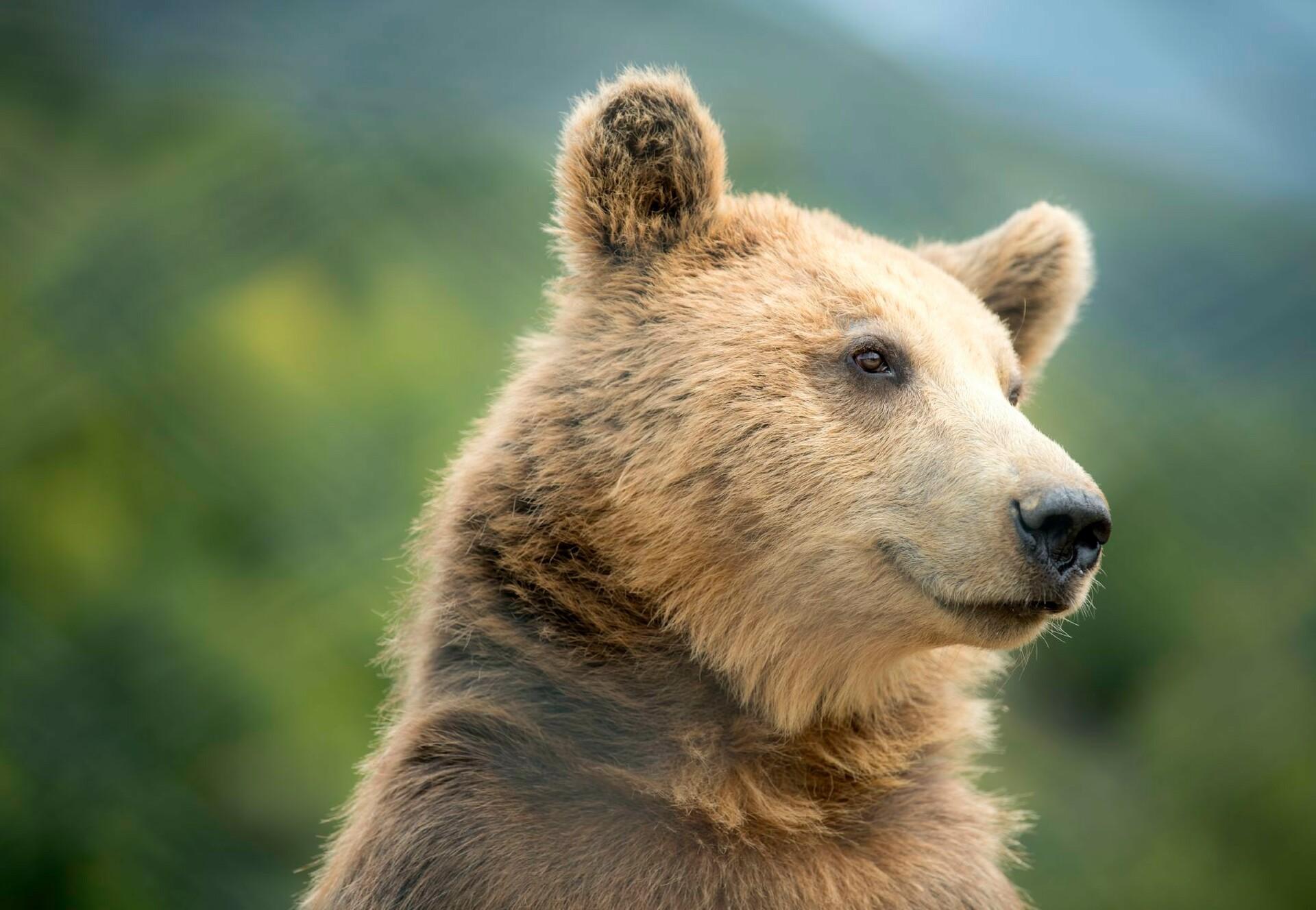 Brown bear Gjina