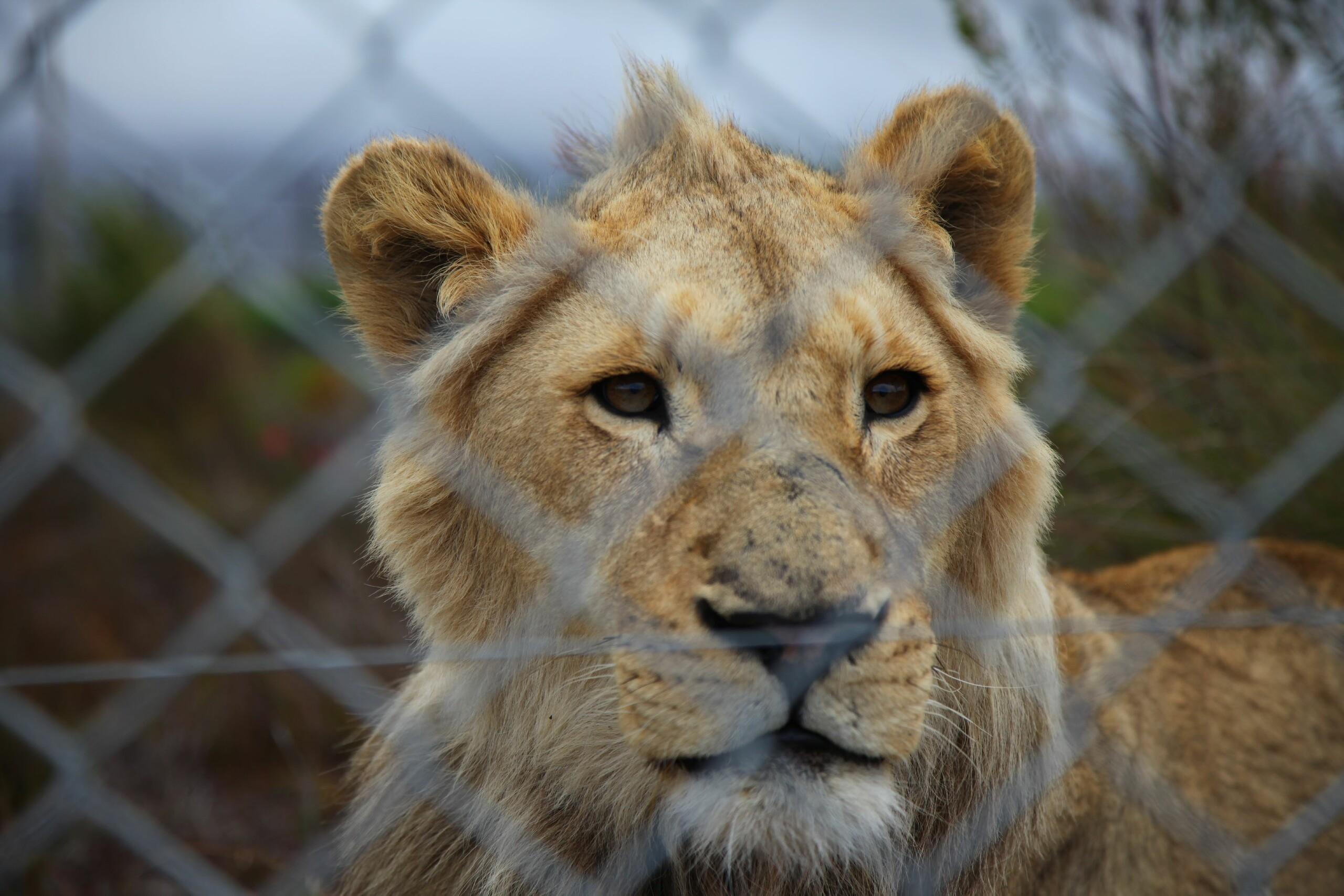 Een leeuw op een leeuwenfokkerij