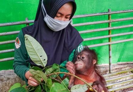 Orangutan with caretaker wearing a mask