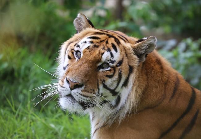 Tiger Caruso in FELIDA