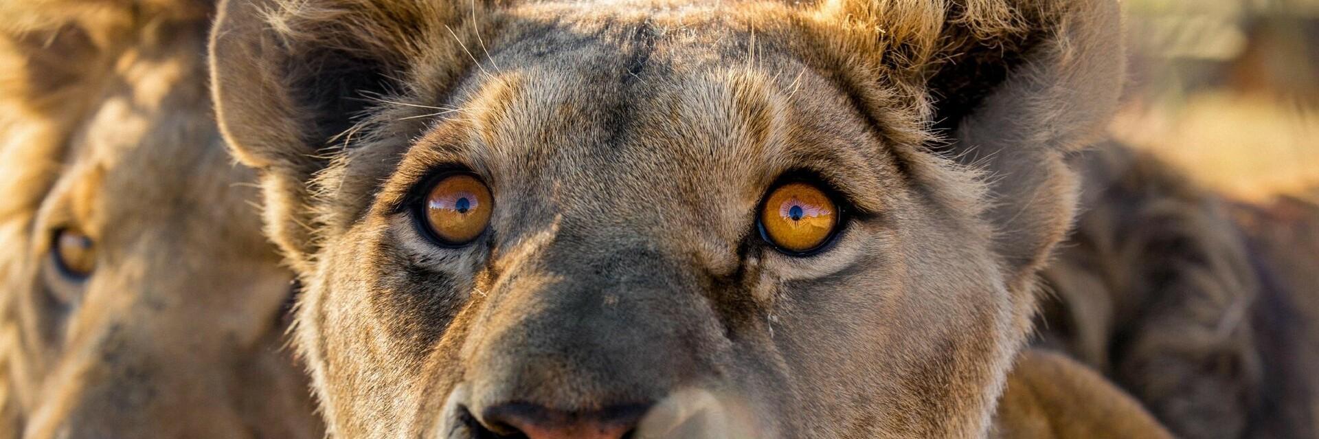 Löwen Juba und Micca in LIONSROCK