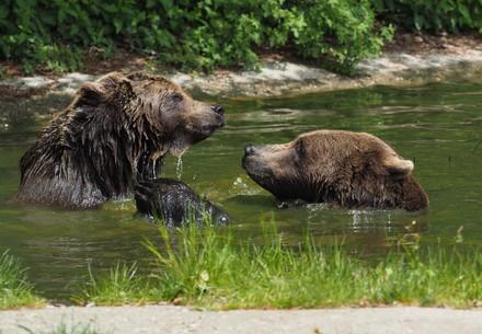 Bears Emma and Erich swimming at BEAR SANCTUARY Arbesbach