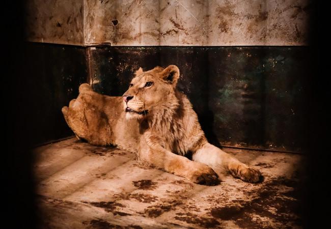 Löwe aus dem Zoo von Razgrad in Bulgarien