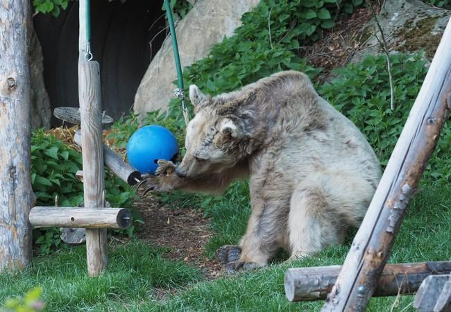 bear trying to get treats out of a ball