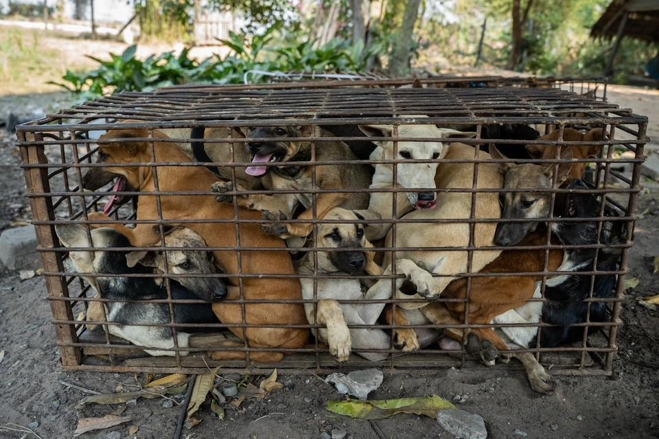 interception of dogs in Siem Reap Cambodia.
