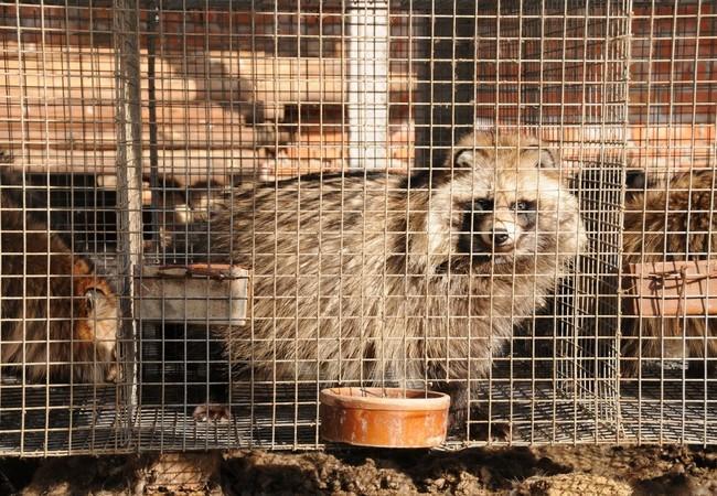 Waschbär eingesperrt auf einer Pelzfarm