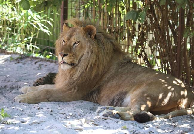 Lion Ivan-Asen relaxing