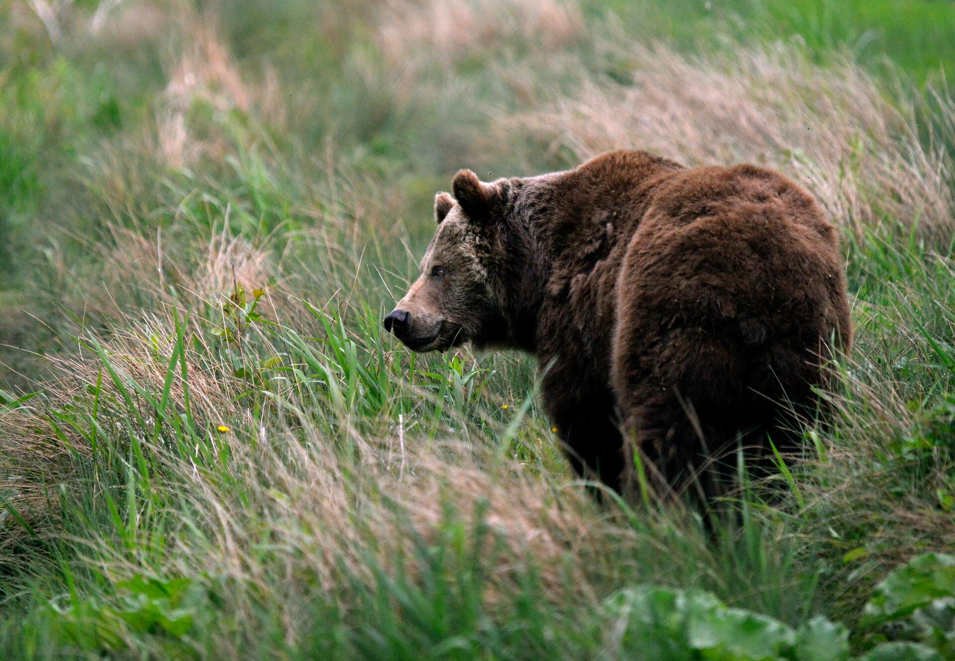 Bear Katja